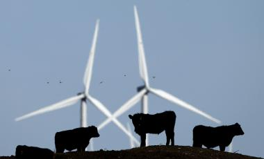 Cattle graze in a pasture against a backdrop of wind turbines which are part of the 155-turbine Smoky Hill Wind Farm near Vesper, Kansas.