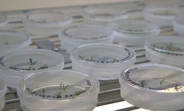 Petri dishes with citrus seedlings are used for gene editing research at the University of Florida.