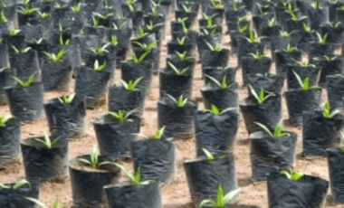 Oil palm seedlings growing in a plant nursery in Ivory Coast.