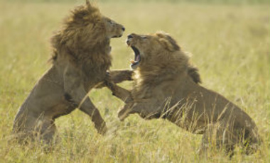Adult male lions fight on the plains of the Masai Mara in Kenya.