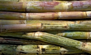Freshly cut sugar cane, India.
