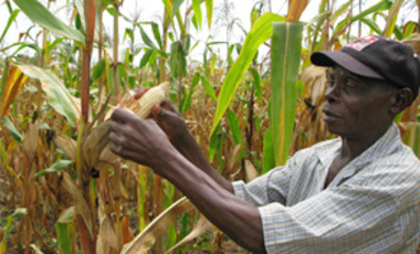 In this March 8, 2011 photo, Joseph Dzindwa, who has expanded from a one-hectare to an eight-hectare maize farm in the last few years, checks his hybrid maize crop in Catandica, Mozambique.
