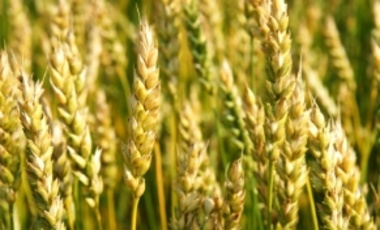 Ripening GMO Wheat Before the Harvest
