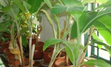 Transgenic banana lines grown in pots and challenged by inoculation with the bacteria Xanthomonas at the NARO-Kawanda National Biotechnology Laboratory in Kampala, Uganda