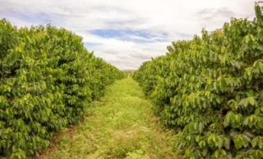 Coffee plantation in Zambia. A 7.5 percent tariff is imposed by the EU on roasted coffee, but not on unroasted green coffee. Africa mostly exports unroasted coffee to the EU.