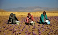 In this picture taken on Monday, Oct. 31, 2016, Iranian farm workers harvest saffron flowers just outside the city of Torbat Heydariyeh, southeastern Iran.