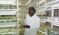 Observing tissue propegation of bananas at a genetic technology lab in Nairobi (2008).