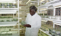 Calestous Juma observes tissue propagation of bananas at a genetic technology lab in Nairobi, Kenya. August 22, 2008.
