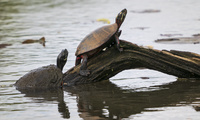 A couple of turtles get a bit of sun at the Kenilworth Aquatic Gardens in Washington on April 22, 2019.